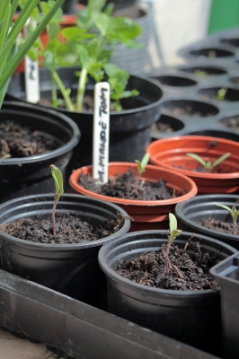 Tomato seedlings in pots