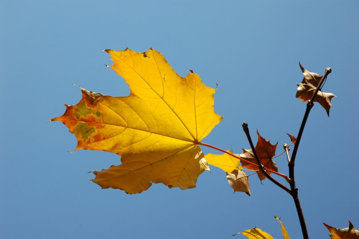 Yellow maple leaf over blue sky